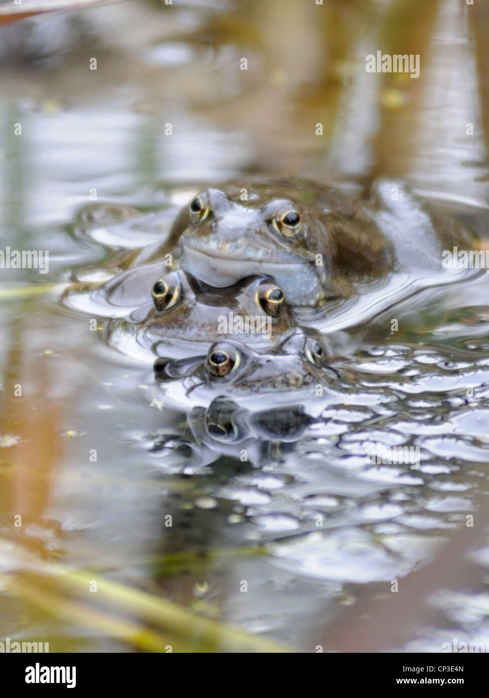 A group of Common Frogs ( Rana temporaria ) in multi amplexus - Stock Image