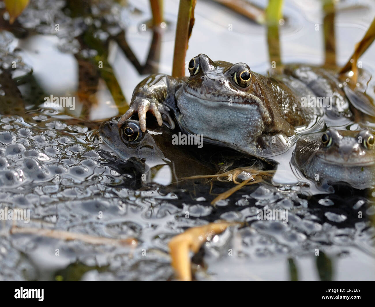 Spawning Common Frogs ( Rana temporaria ) - Stock Image
