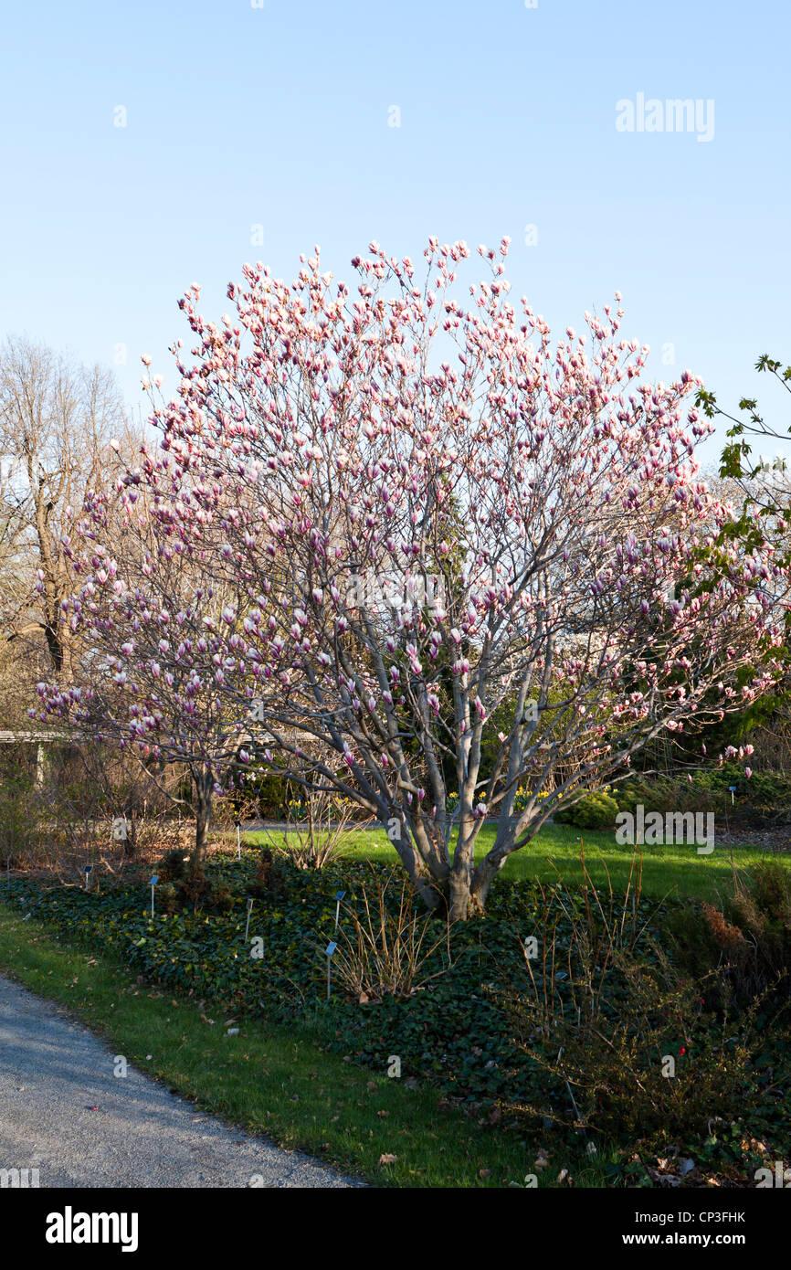 Magnolia, Magnolioideae,Magnolia soulangeana Stock Photo