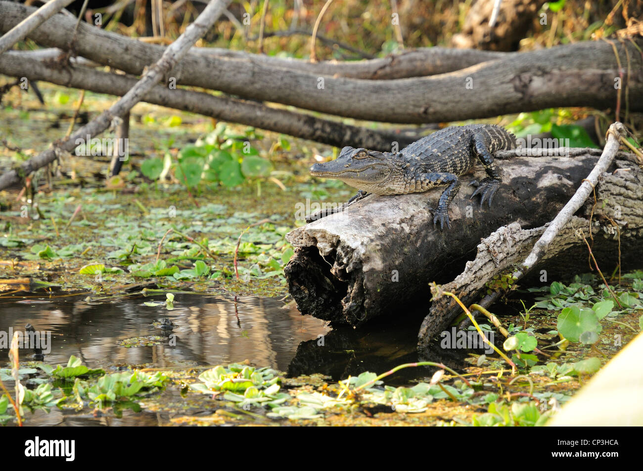 Young alligator on a log Stock Photo