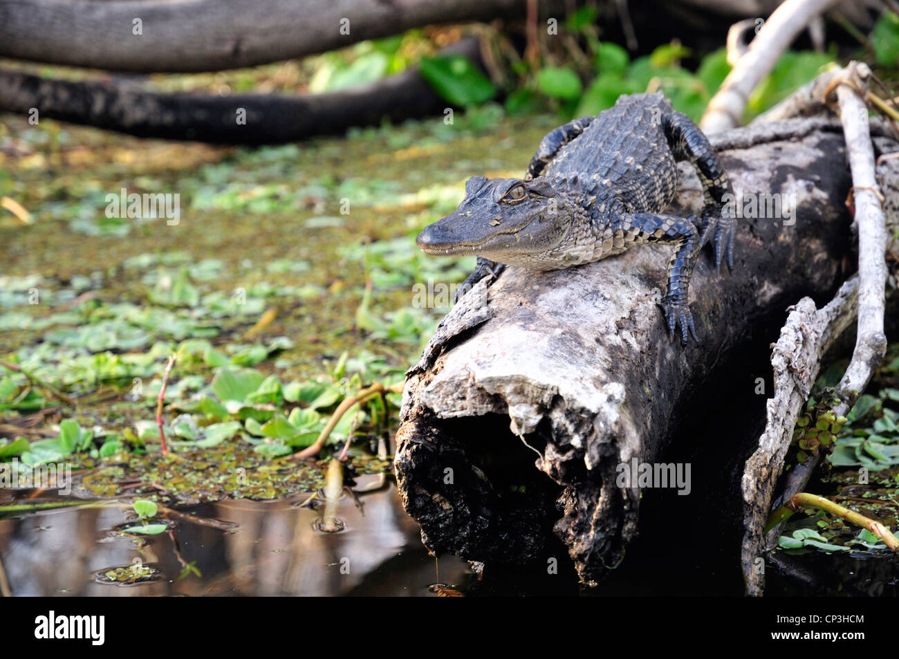 Young alligator on a log - Stock Image