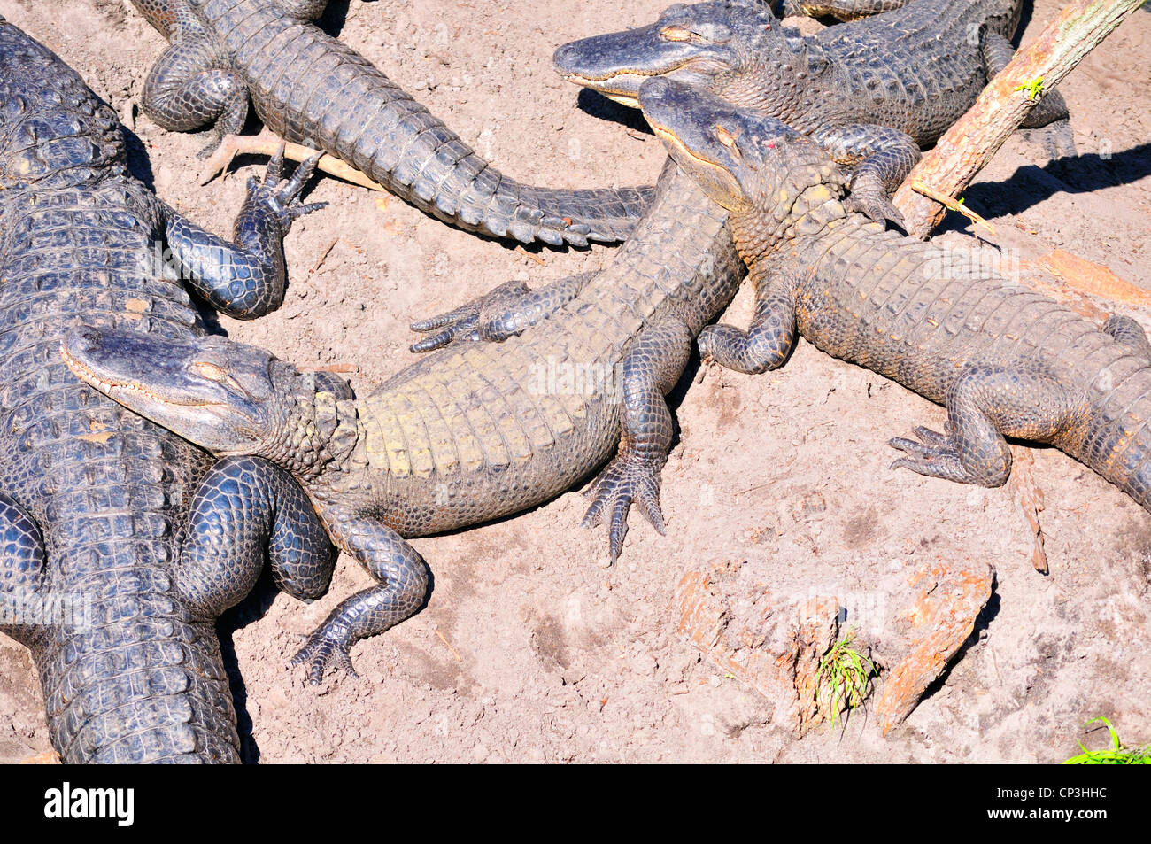 Group of sleeping alligators resting on each other - Stock Image