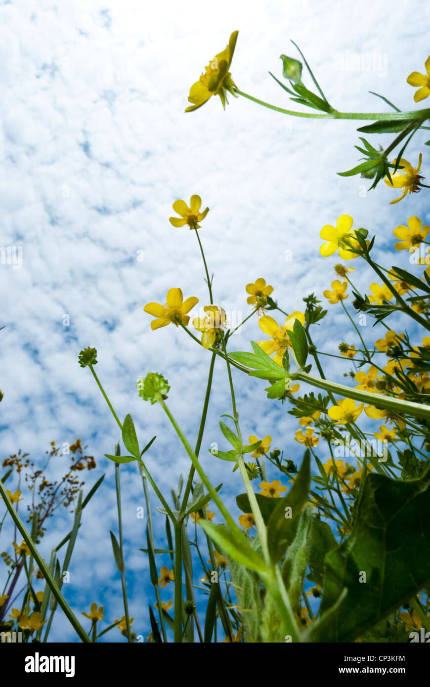 Worm's eye view of yellow wildflowers with a cloudy blue sky - Stock Image