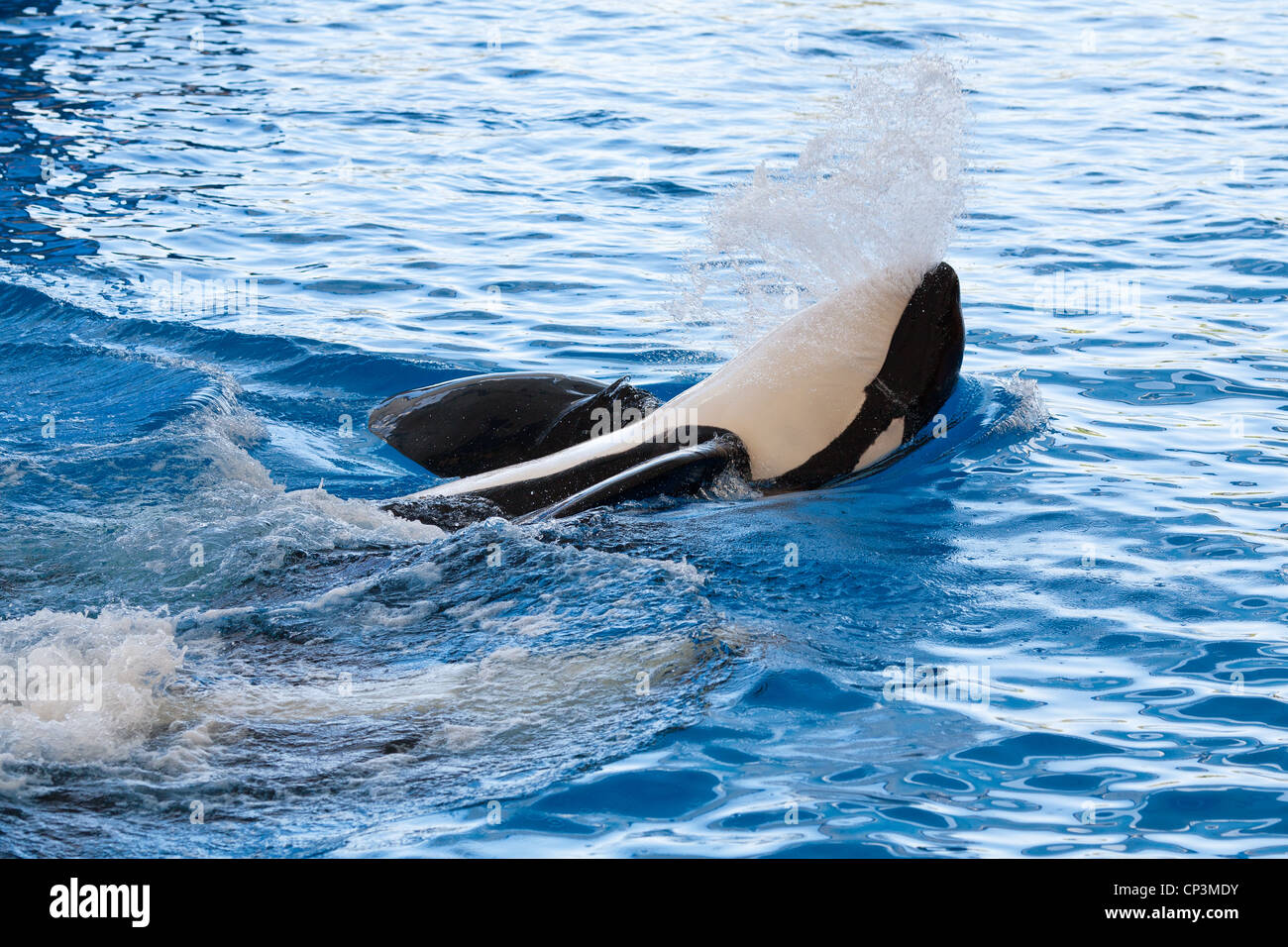 Orca - Stock Image