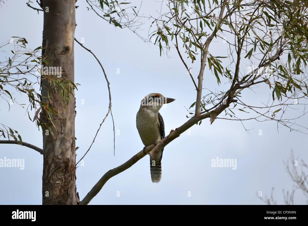 Kookaburra sitting in tree - Stock Image