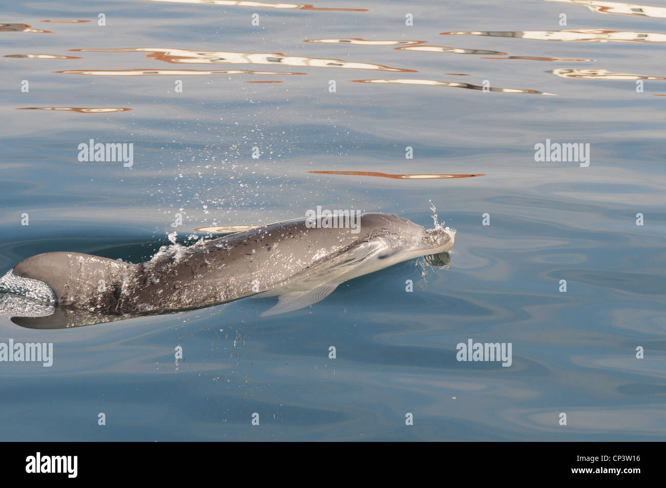 bottlenosed dolphin in sardinian waters under the water following the boat, La Maddalena , Sardinia, Italy - Stock Image
