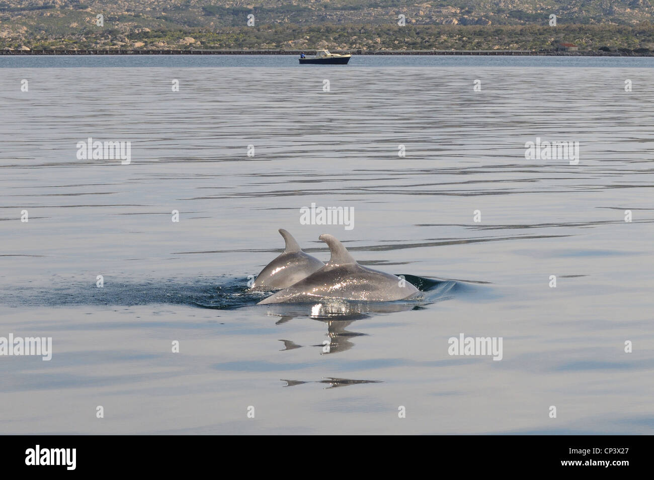 two common dolphin school around boat in the mediterranean off the sardinian coast interacting with each other, - Stock Image