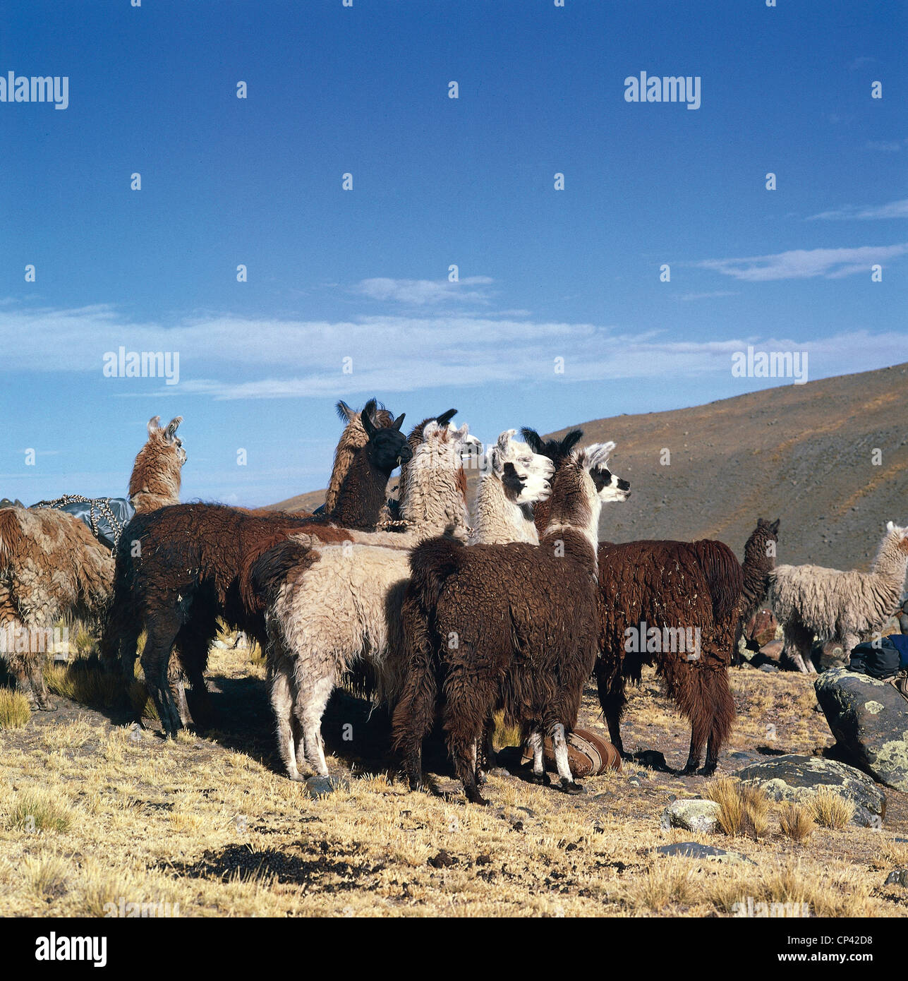 Bolivia - Camels - grazing Lama (Lama glama). Stock Photo