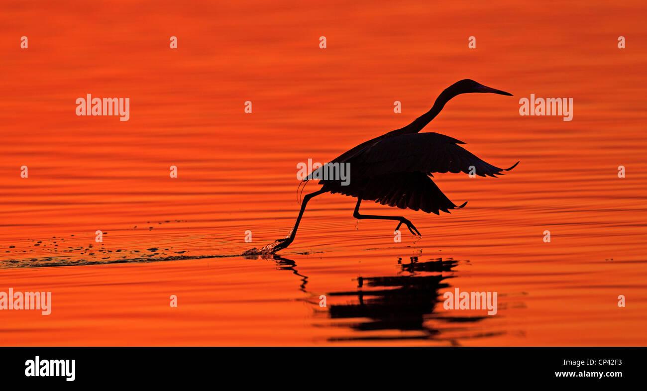 Reddish egret at sunrise, East Beach, Fort de Soto, Florida, USA Stock Photo