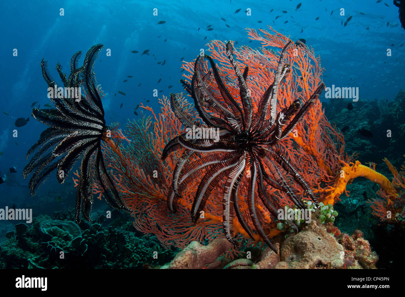 Feather stars (Cnidaria Crinoids) sit on corals underwater on Gili Air, off Lombok, Indonesia - Stock Image
