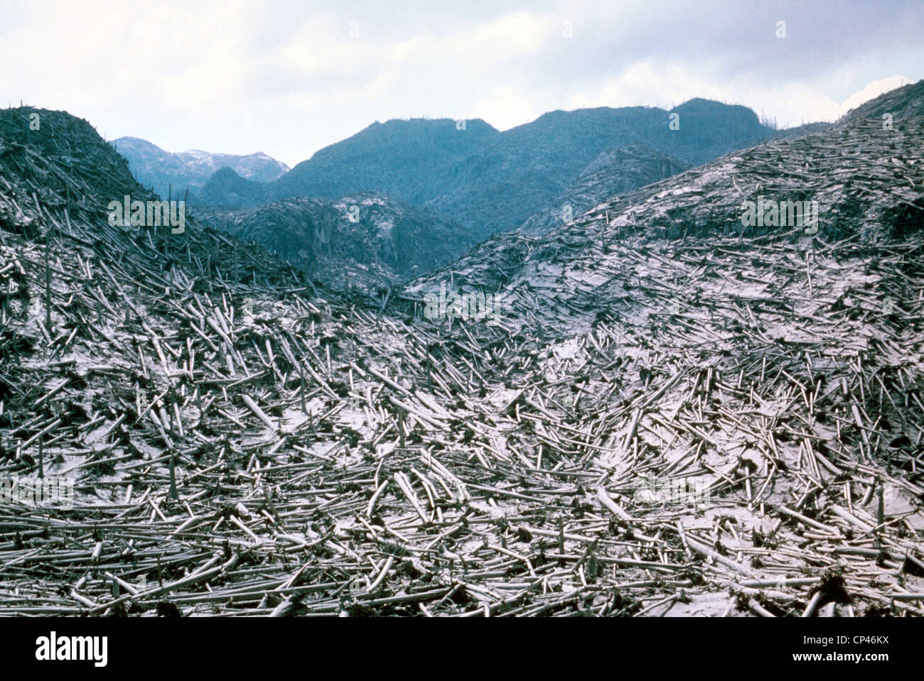 Timber destroyed by May 18 1981 eruption of Mount St. Helens. Trees within 19 miles from volcano were blown down. Stock Photo