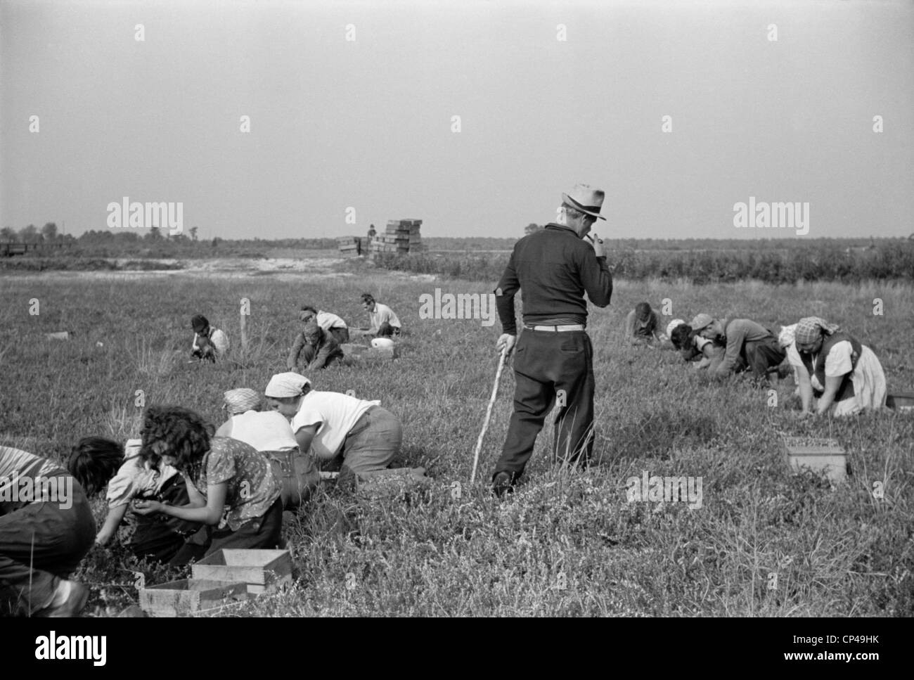 Padrone supervising work of Italian-American cranberry pickers including many children kept out of school. Burlington - Stock Image