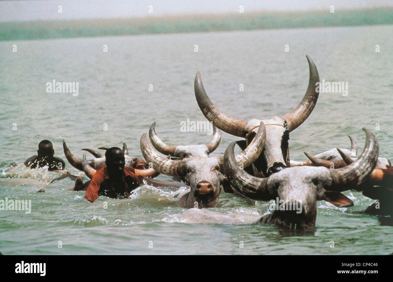 Chad - Herd of cattle transhumance wading in the lake Chad. - Stock Image