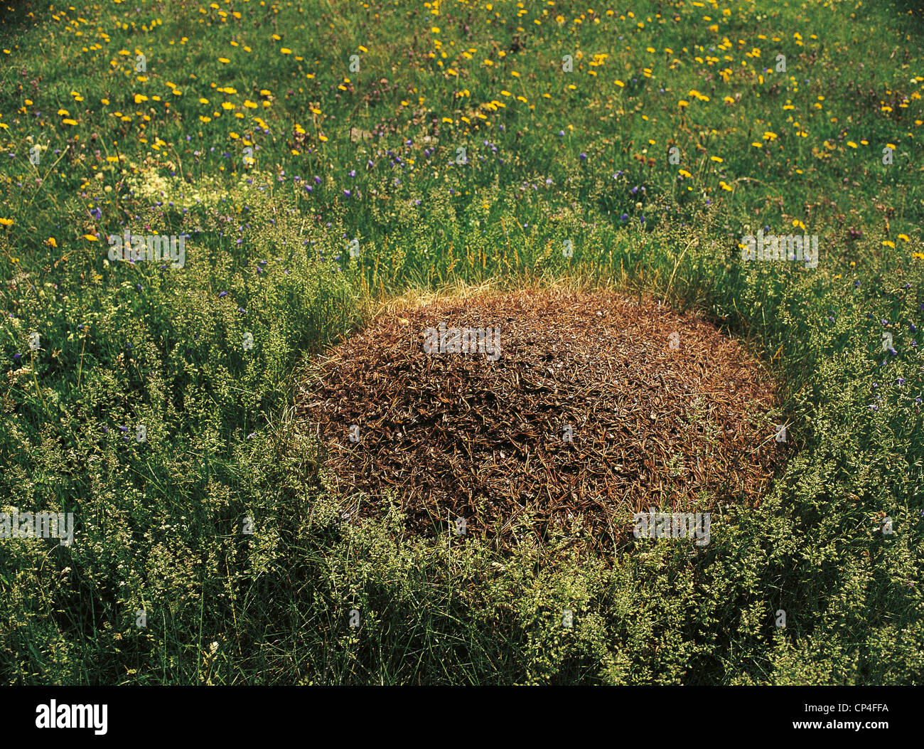 Zoology - Insects - Anthill. Lombardia, Parco Nazionale dello Stelvio, Val del Gallo (So). - Stock Image
