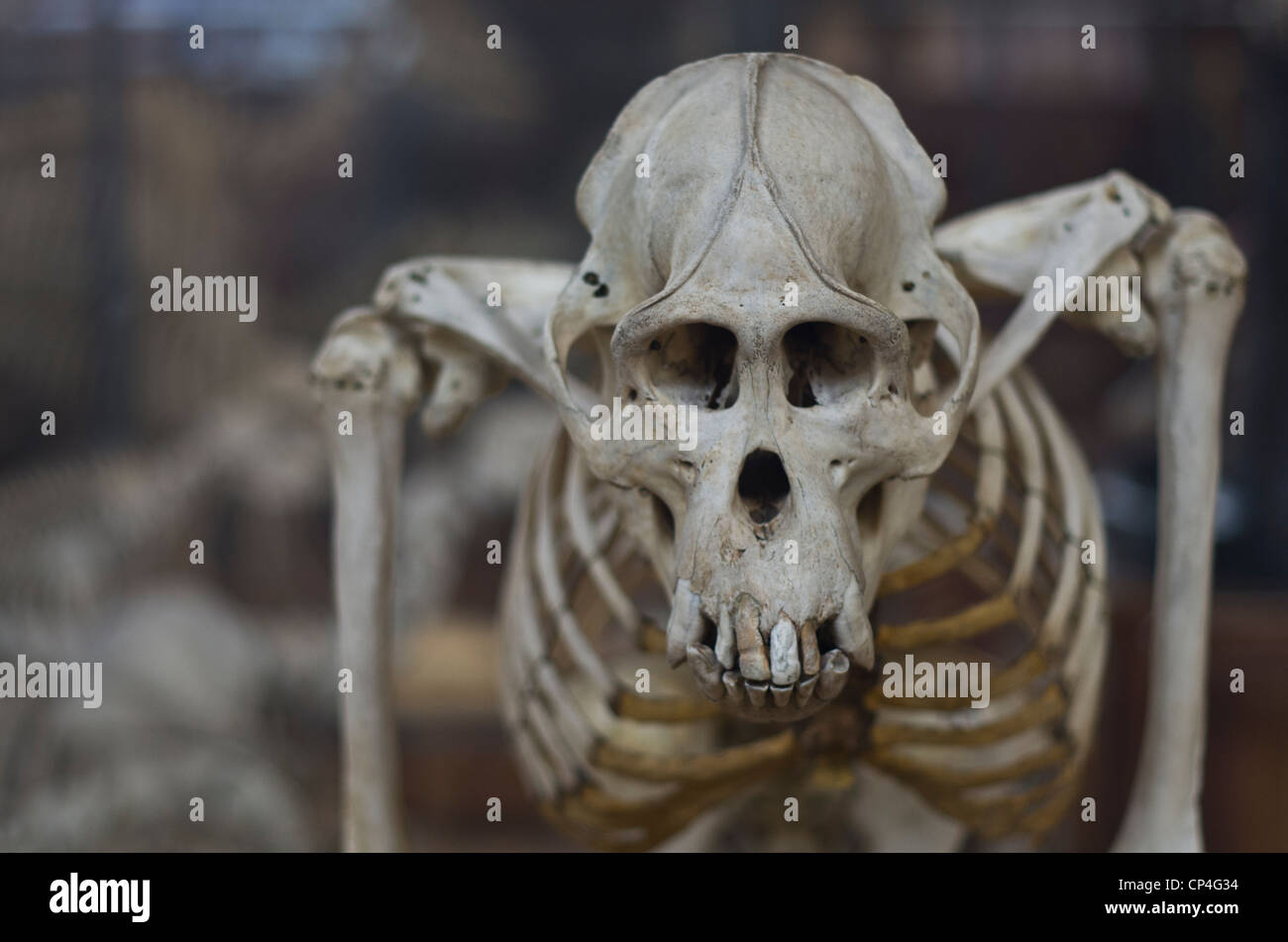 Museum of natural history of Paris. A primate skeleton. - Stock Image