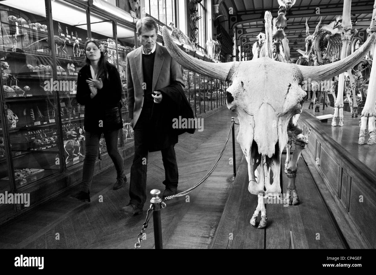 Museum of natural history of Paris. Two visitants looks a bull skeleton. - Stock Image