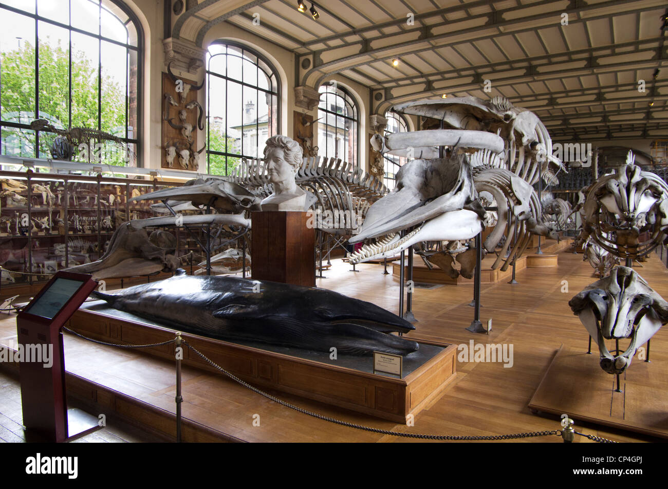Museum of natural history of Paris. Sea mammals hall. - Stock Image