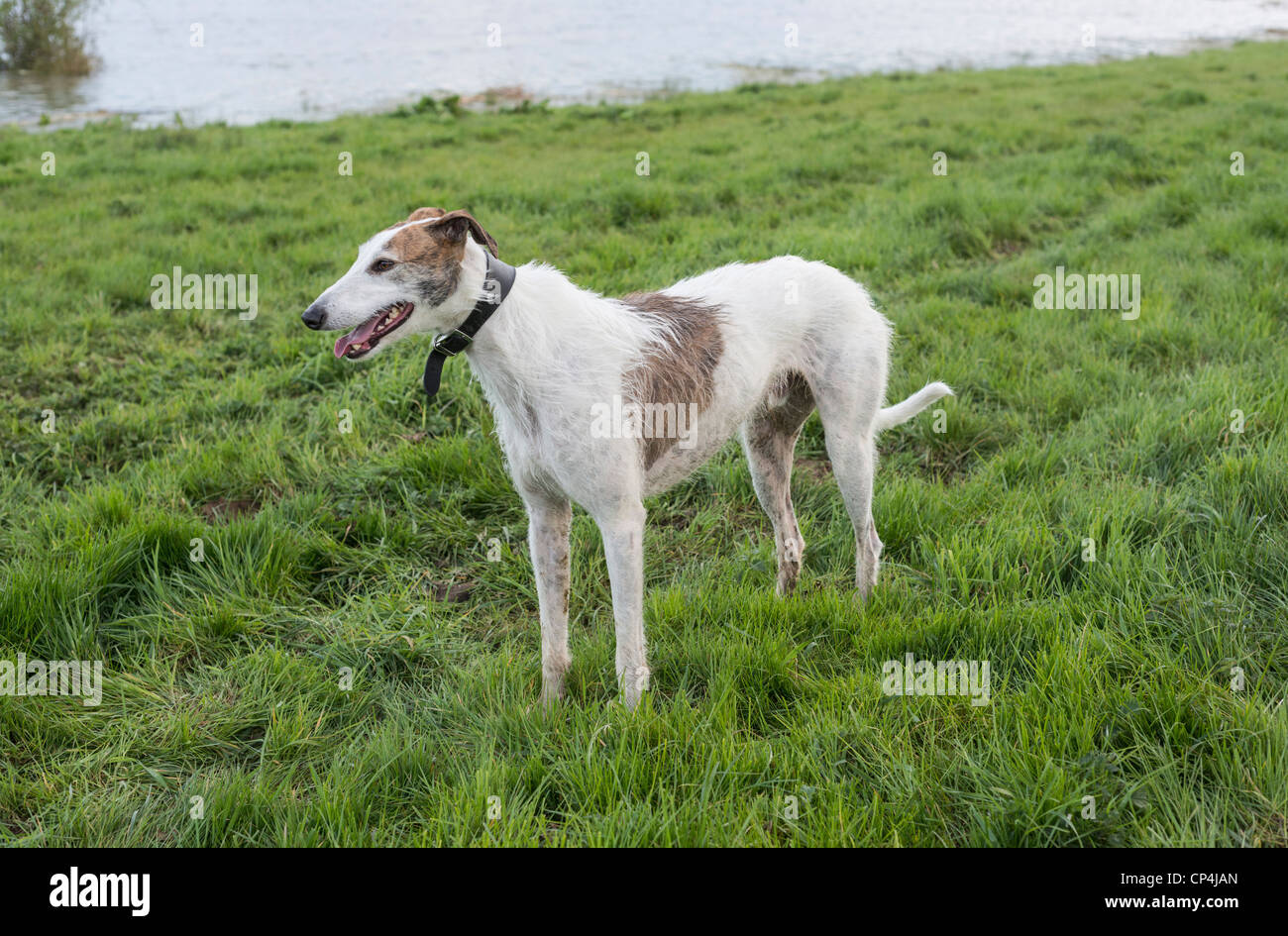 Lurcher standing on grass Stock Photo