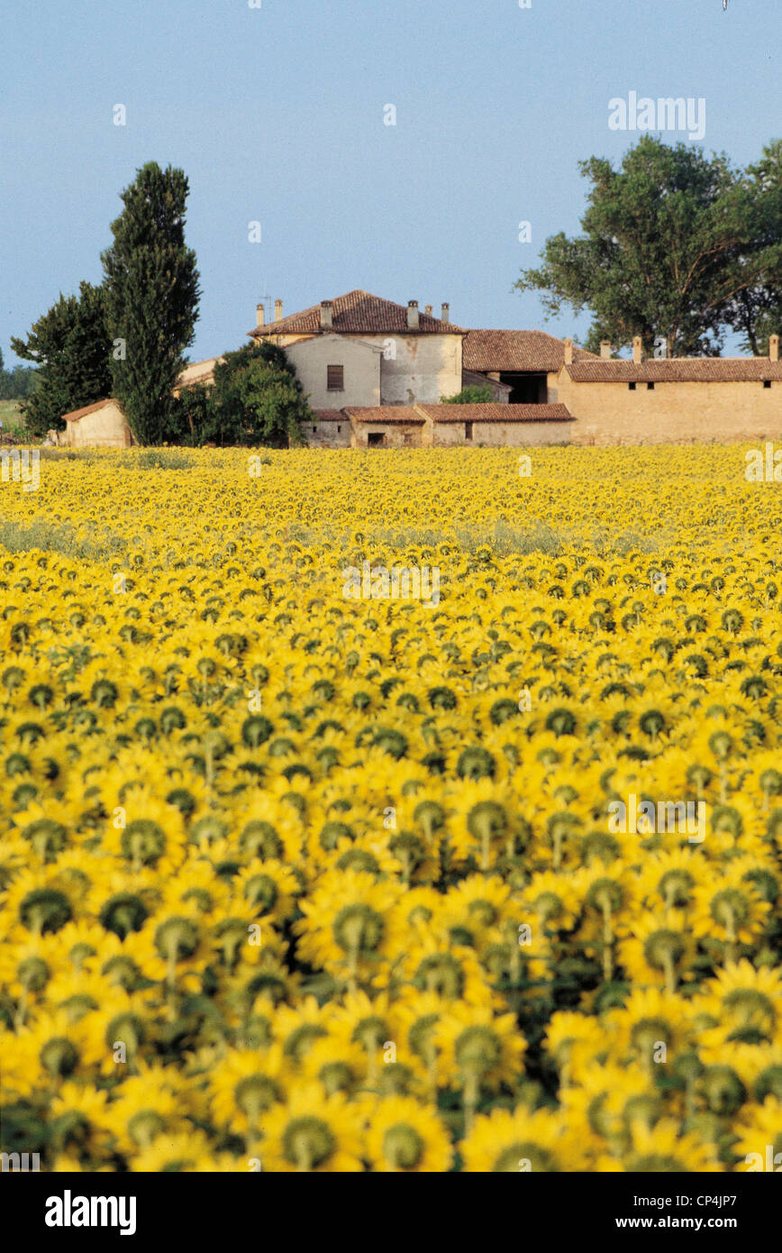 Lombardia - Tower Bridge Oglio (Mn). Field of sunflowers - Stock Image
