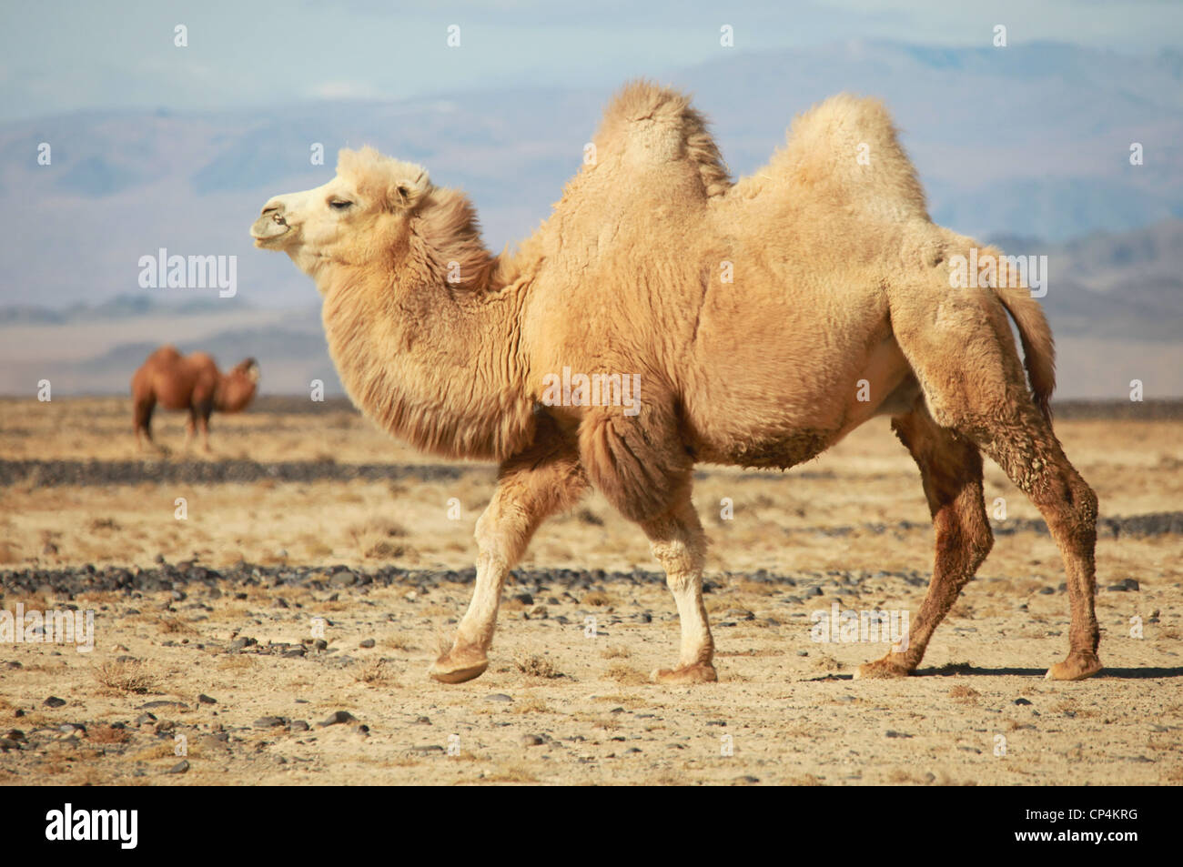 Bactrian camel in the steppes of Mongolia. True to transport a nomad - Stock Image