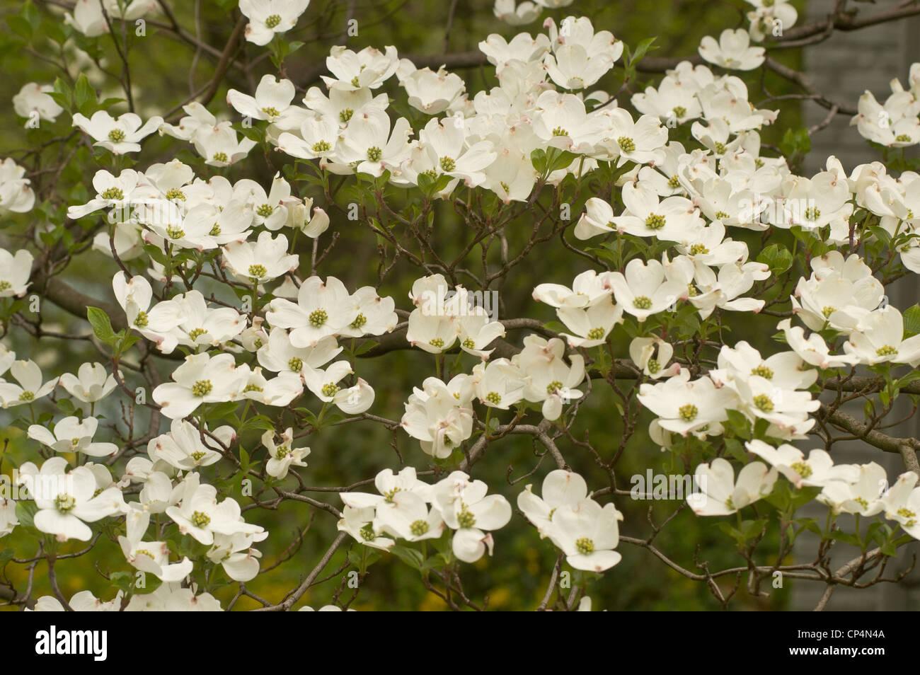 White Flowers Of Flowering Dogwood Cornus Florida Cornaceae Stock