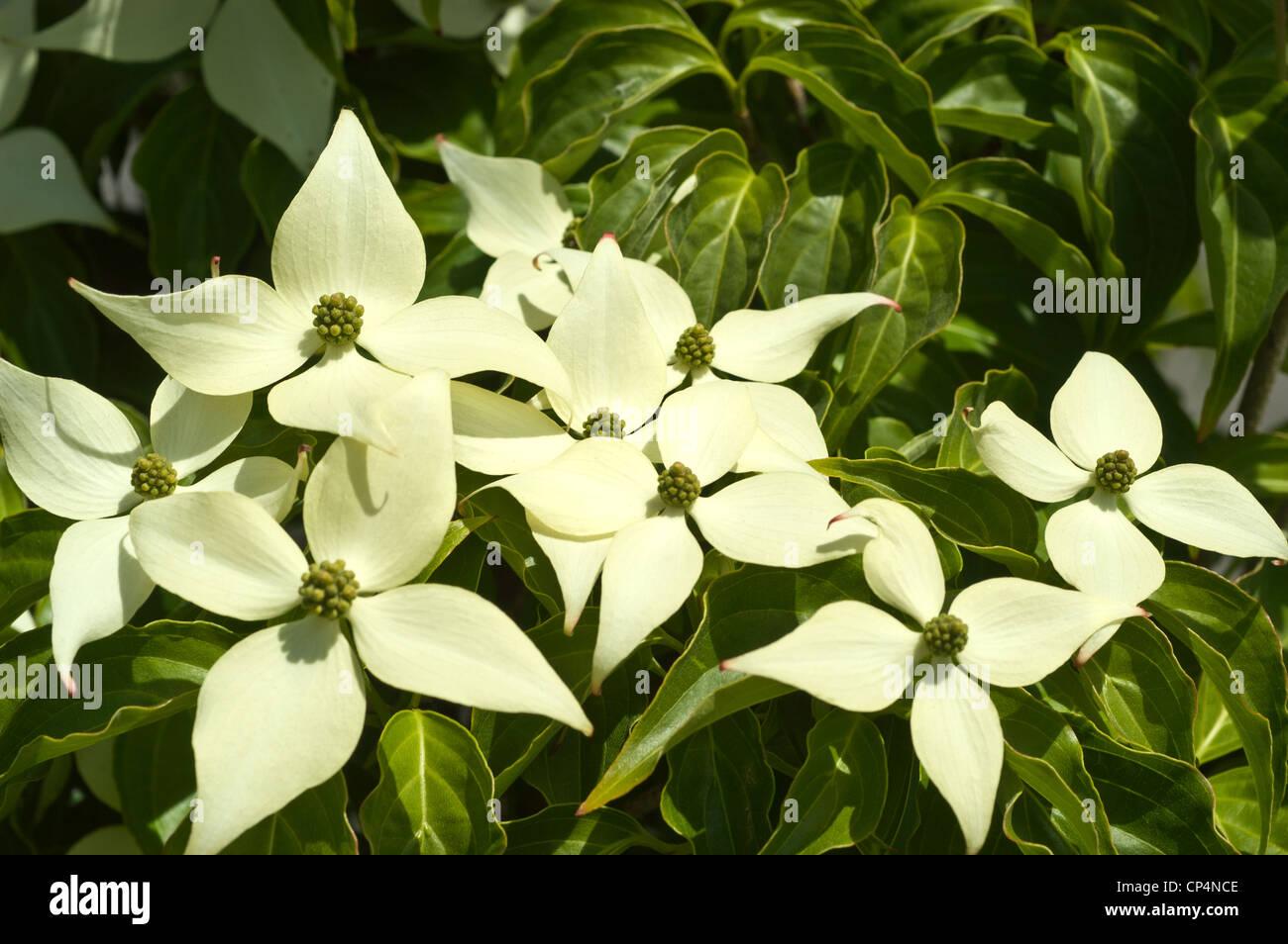 White Flowers Of Kousa Dogwood Cornus Kousa Cornaceae Stock Photo
