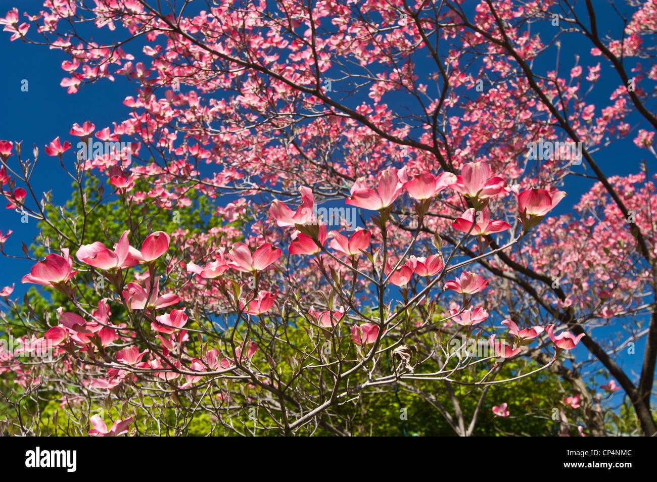 Pink Flowers Of Flowering Dogwood Cornus Florida Cornaceae