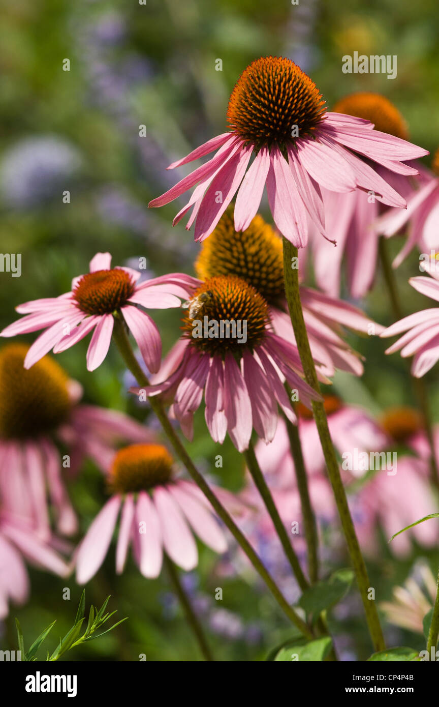 Violet Purple pink flowers of Purple Coneflower Echinacea Purpurea bloom, blossom, petals, cultivar, horticulture, - Stock Image