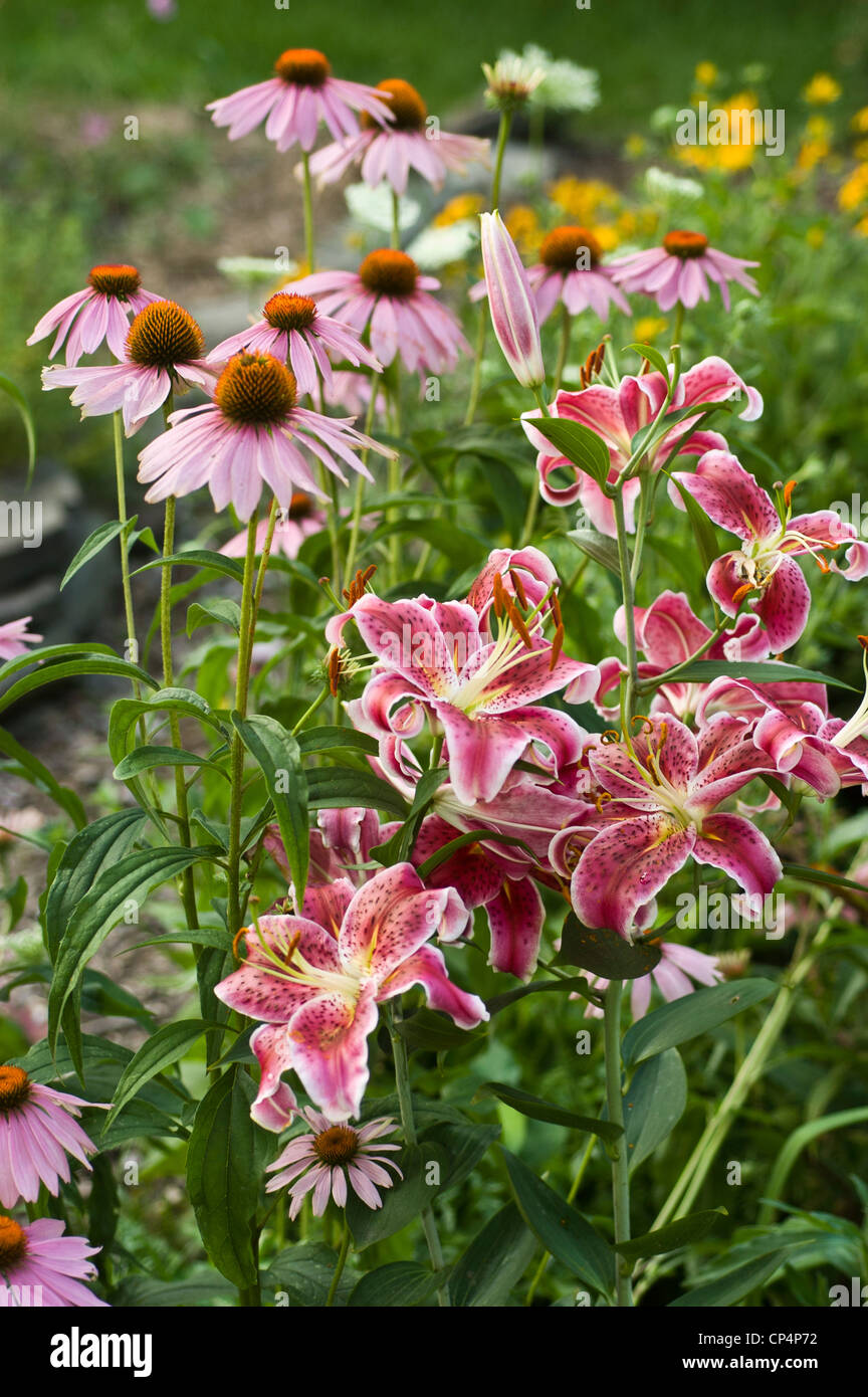 Violet Purple pink flowers of Purple Coneflower Echinacea Purpurea and pink white day lily, bloom, blossom, petals, - Stock Image