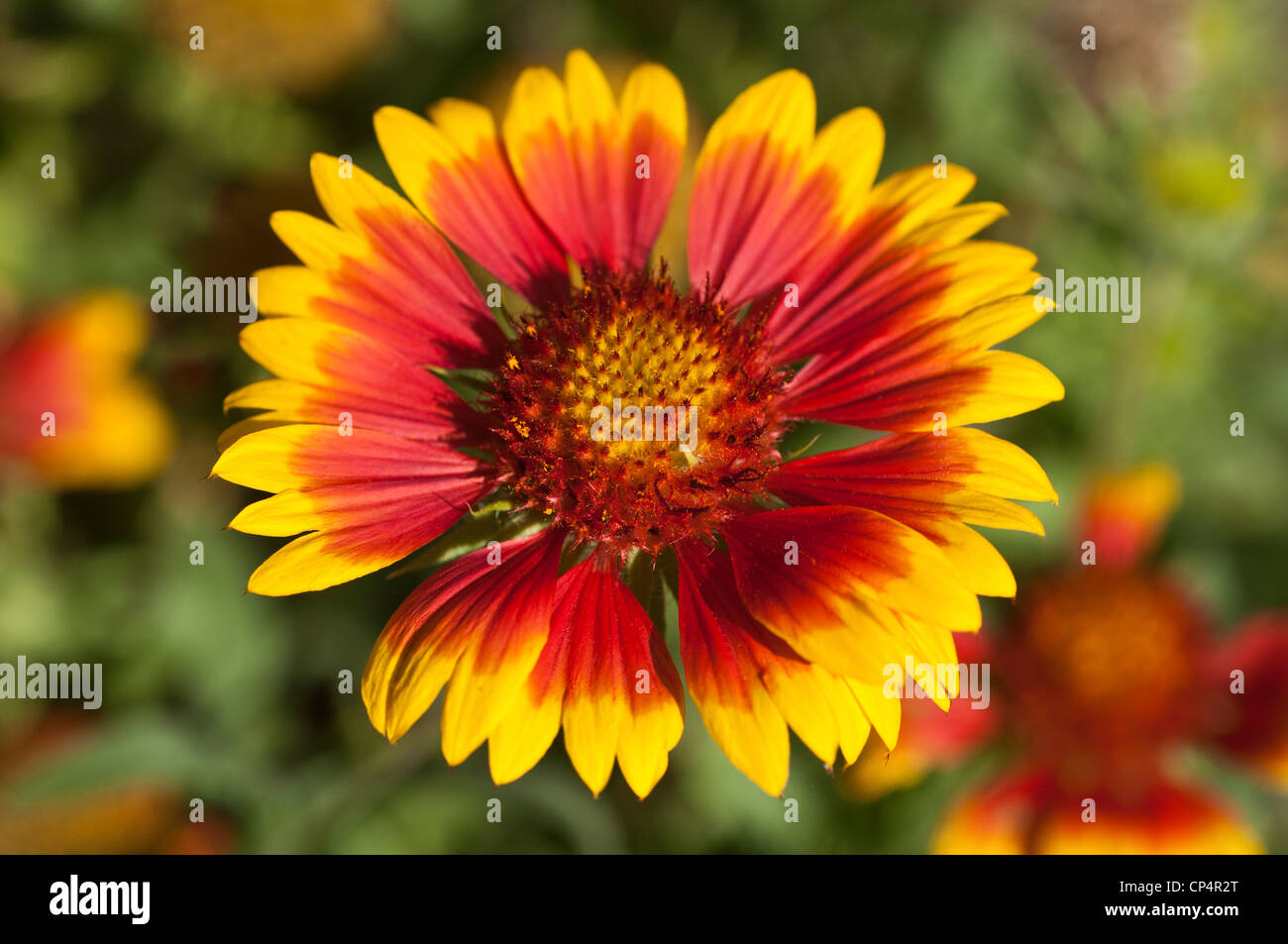 Yellow And Red Flower Close Up Of Common Blanket Flower Stock Photos