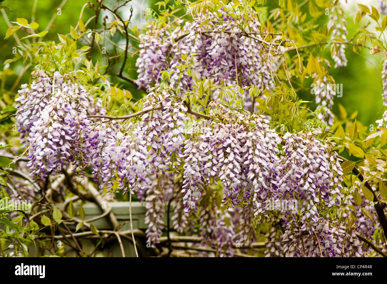 Pale Violet Purple Lilac Pink Flowers Of Wisteria Climbing Vine