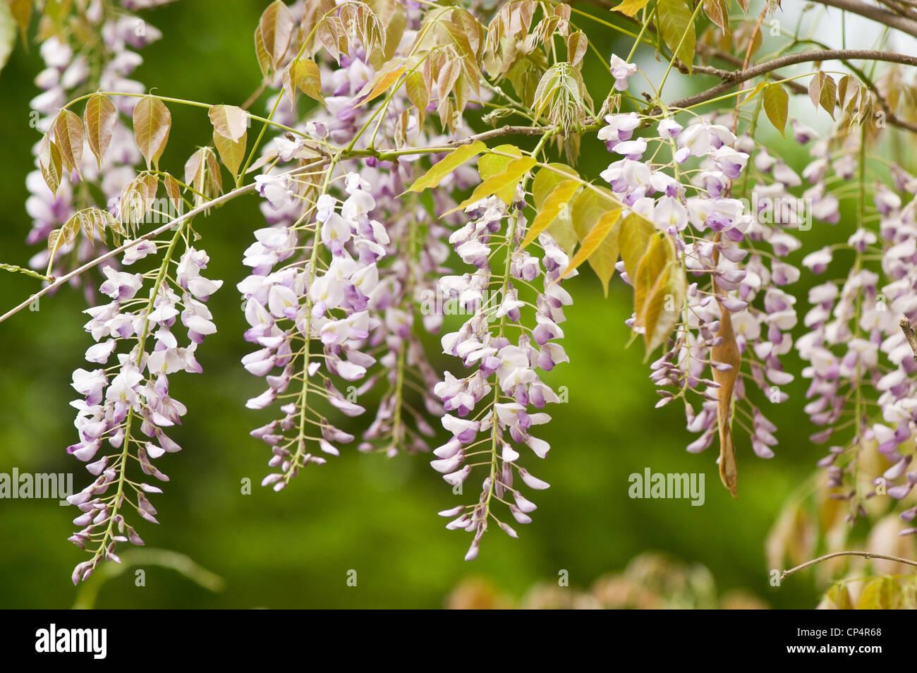 Pale Violet Purple Lilac Pink Flowers Of Wisteria Climbing Vine