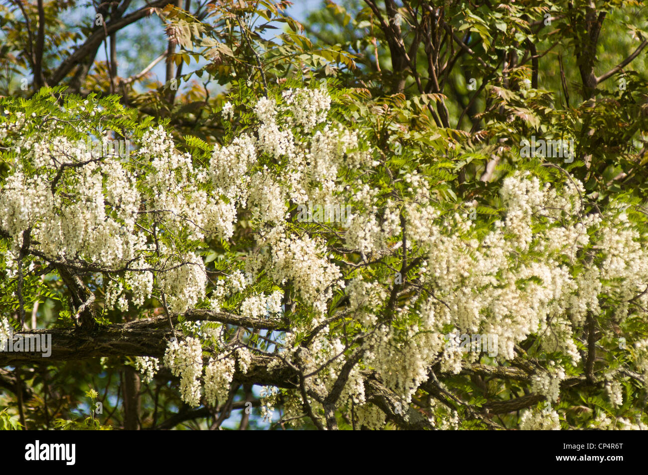 White Flowers Of Wisteria Climbing Vine Stock Photos White Flowers