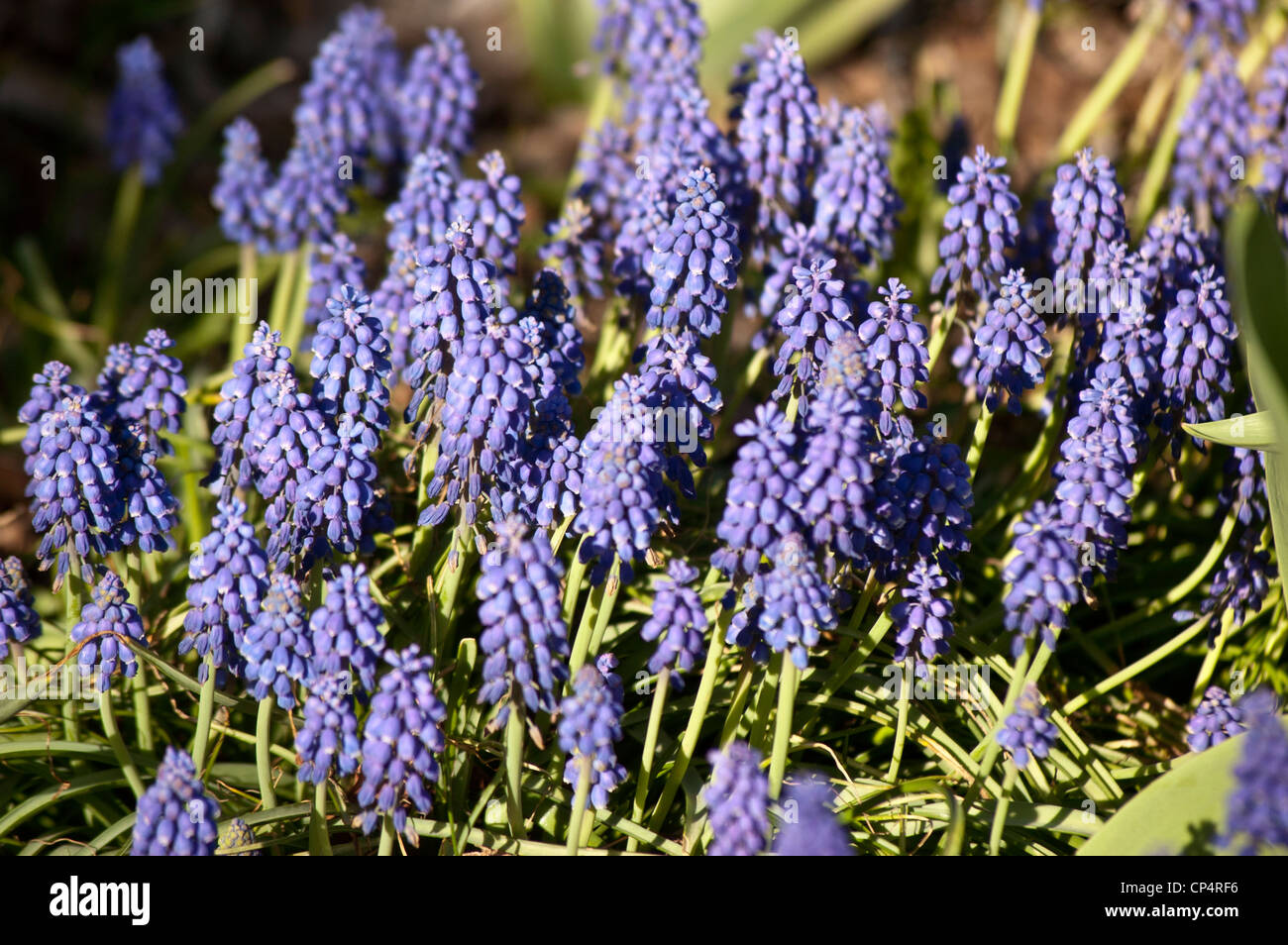 Many Blue Spring Flowers Of Muscari Babys Breath Grape Hyacinth