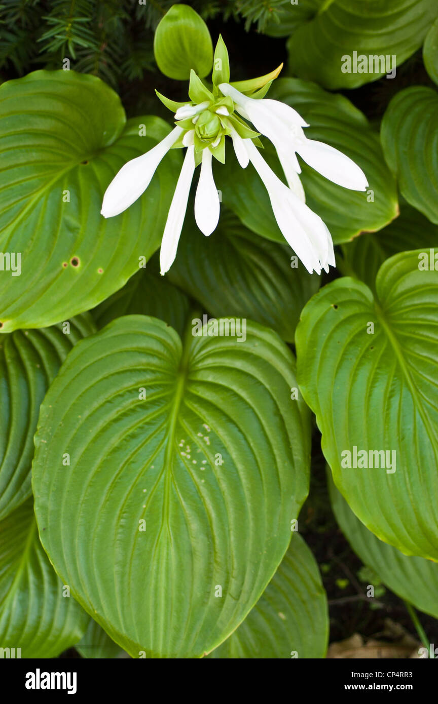 White flowers of fragrant hosta august lily hosta plantaginea white flowers of fragrant hosta august lily hosta plantaginea growing in the garden mightylinksfo
