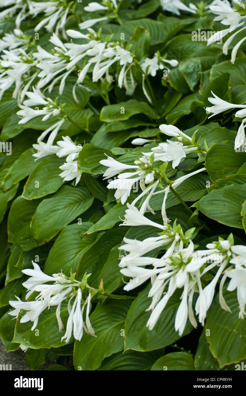 White flowers of fragrant hosta august lily hosta plantaginea white flowers of fragrant hosta august lily hosta plantaginea growing in the garden mightylinksfo