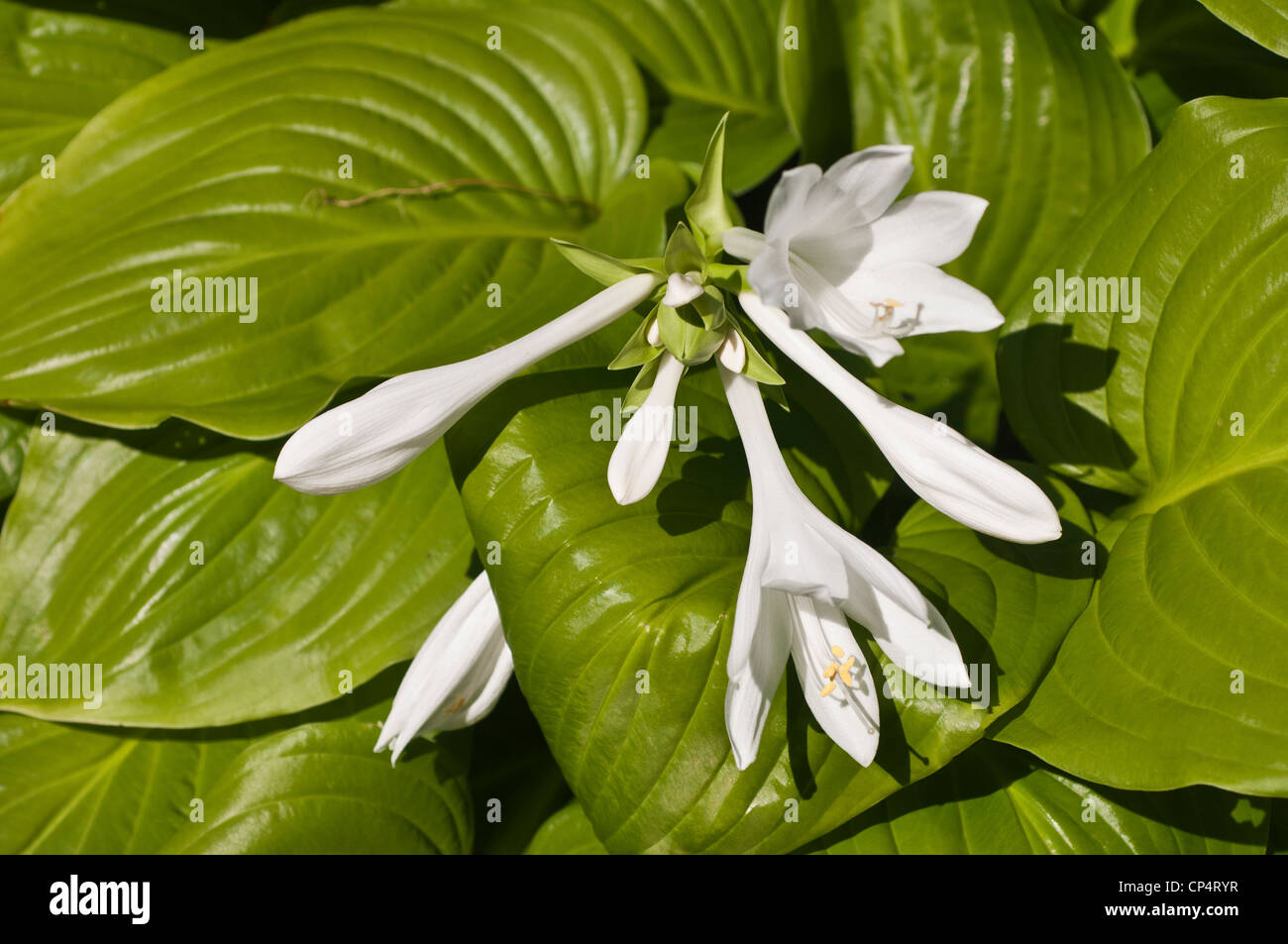 August Lily In Bloom Hosta Plantaginea Stock Photos August Lily In