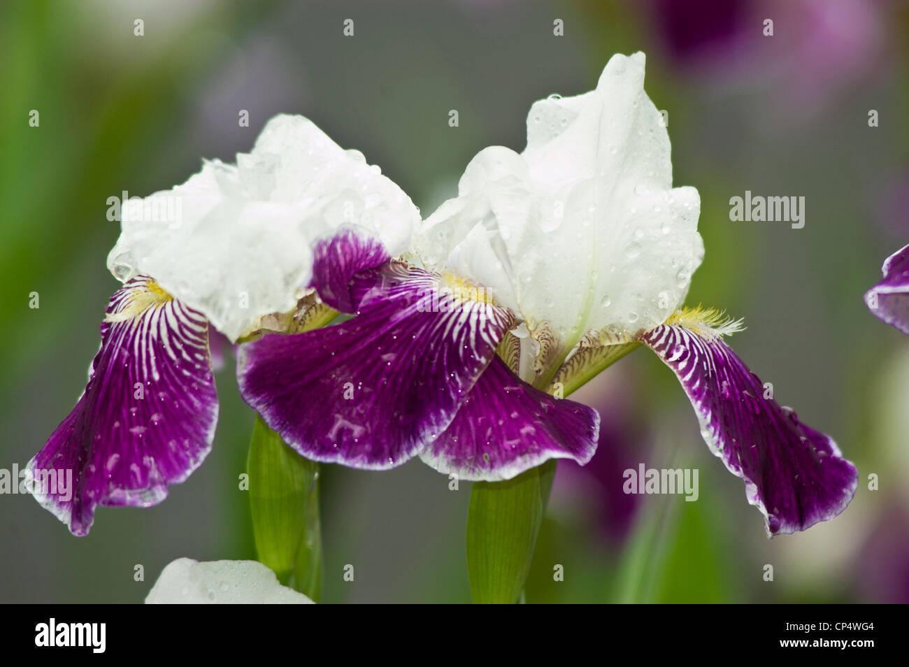 Two Deep Purple Violet White Iris Flower Close Up Stock Photo