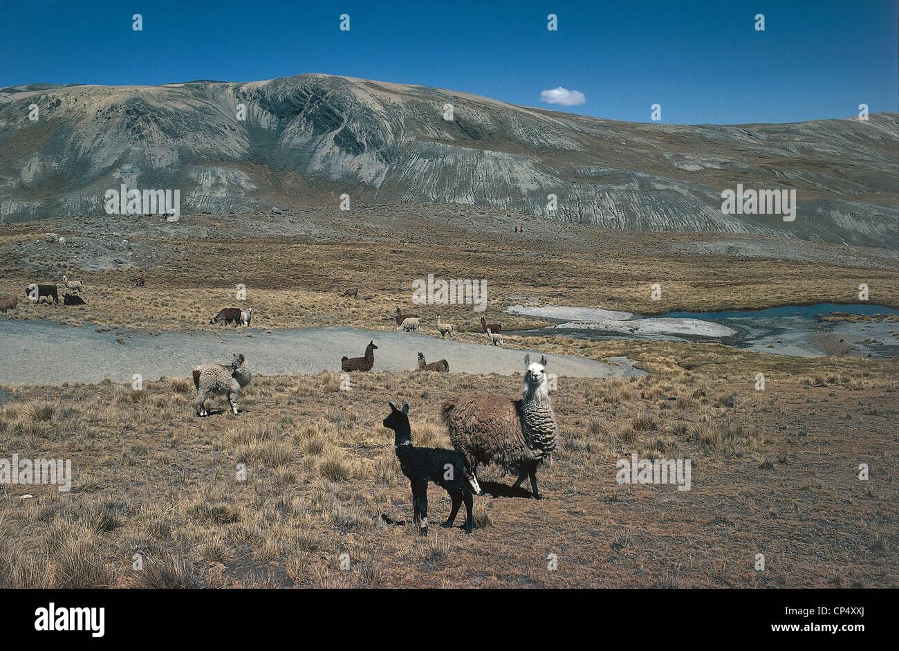 Peru - the Andes - Cordillera Real. Group of llamas (Lama glama) and alpaca (Vicugna pacos) in the pasture. - Stock Image