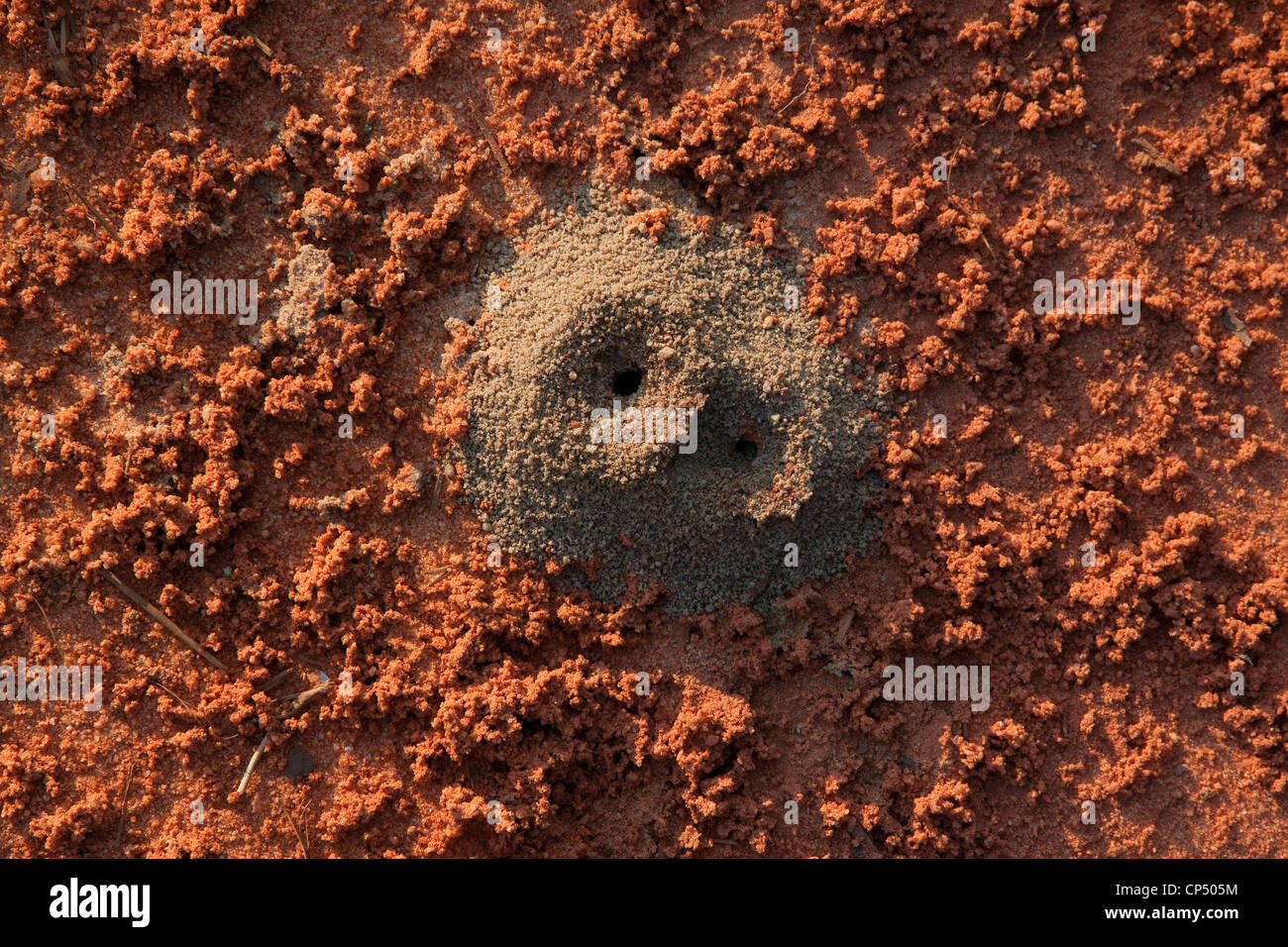 Red Ant  (Solenopsis species) Hill Northern Florida USA Stock Photo