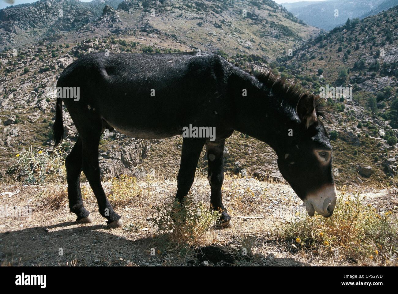 zoology - horses - big ass black berry (equus asinus). france stock