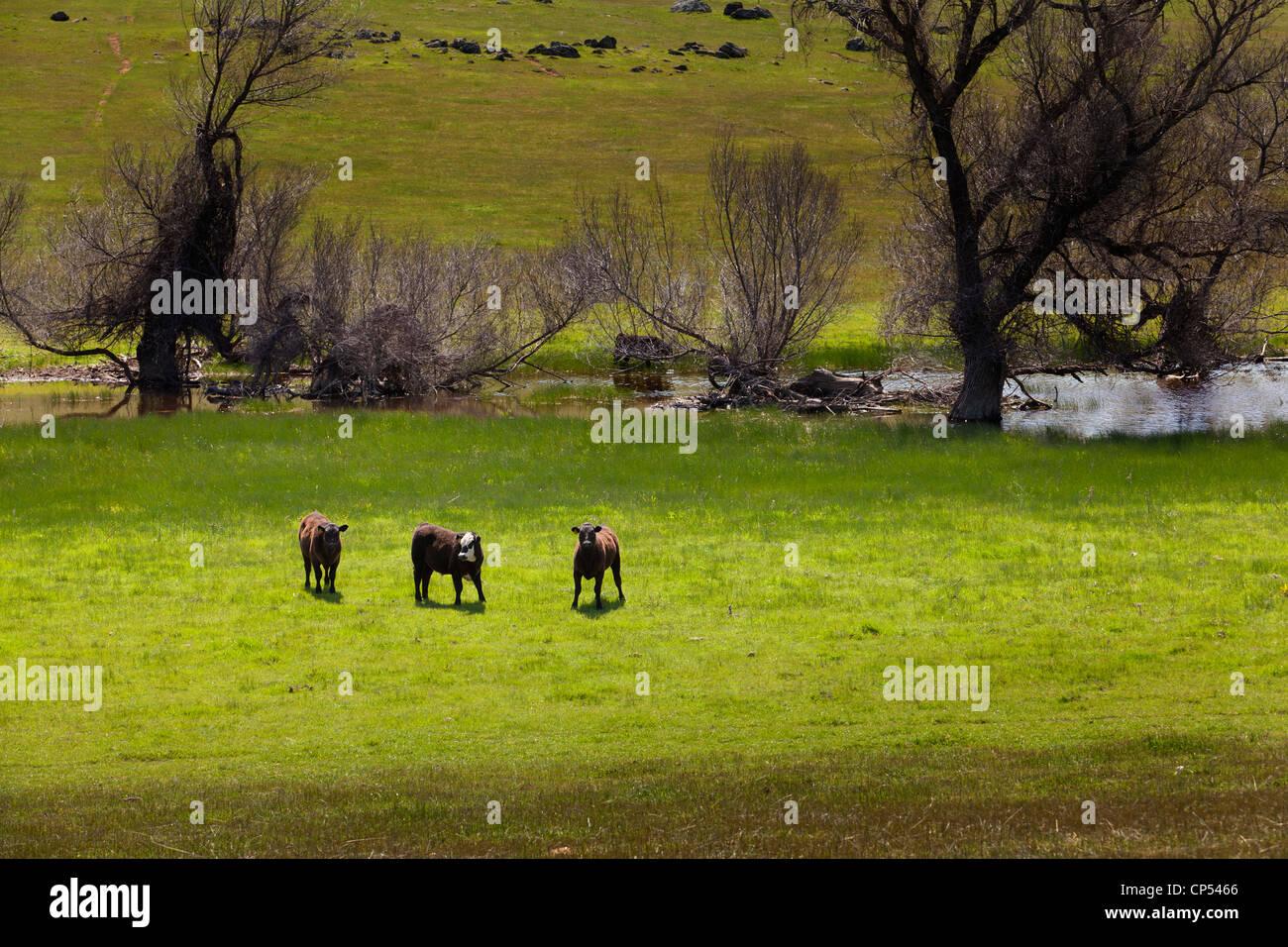 Free range Black Angus cows grazing -  California USA - Stock Image