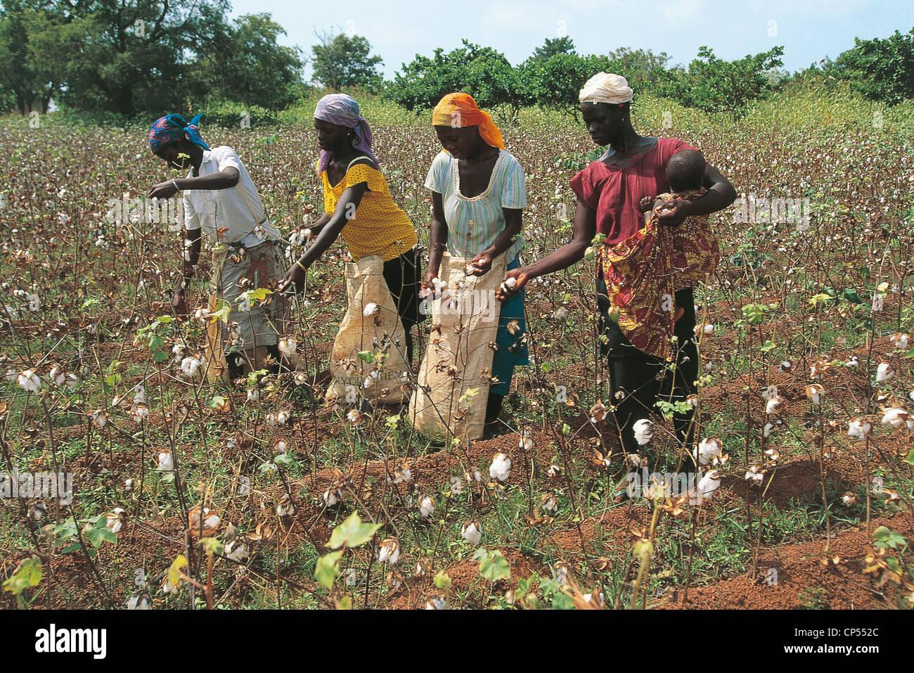 IVORY COAST COUNTRY Senoufo cotton crop - Stock Image