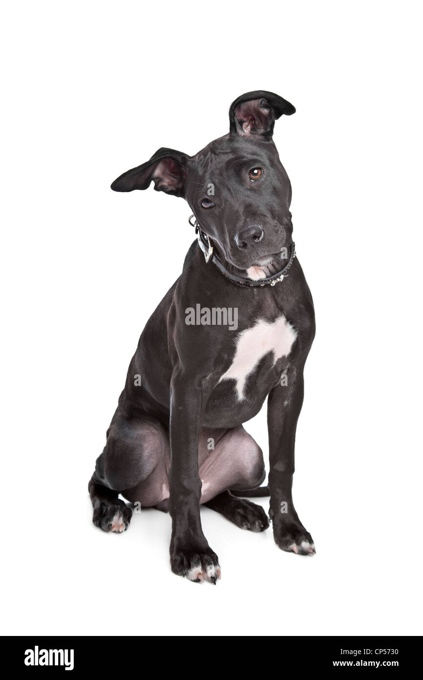 Staffordshire bull terrier puppy in front of white background - Stock Image