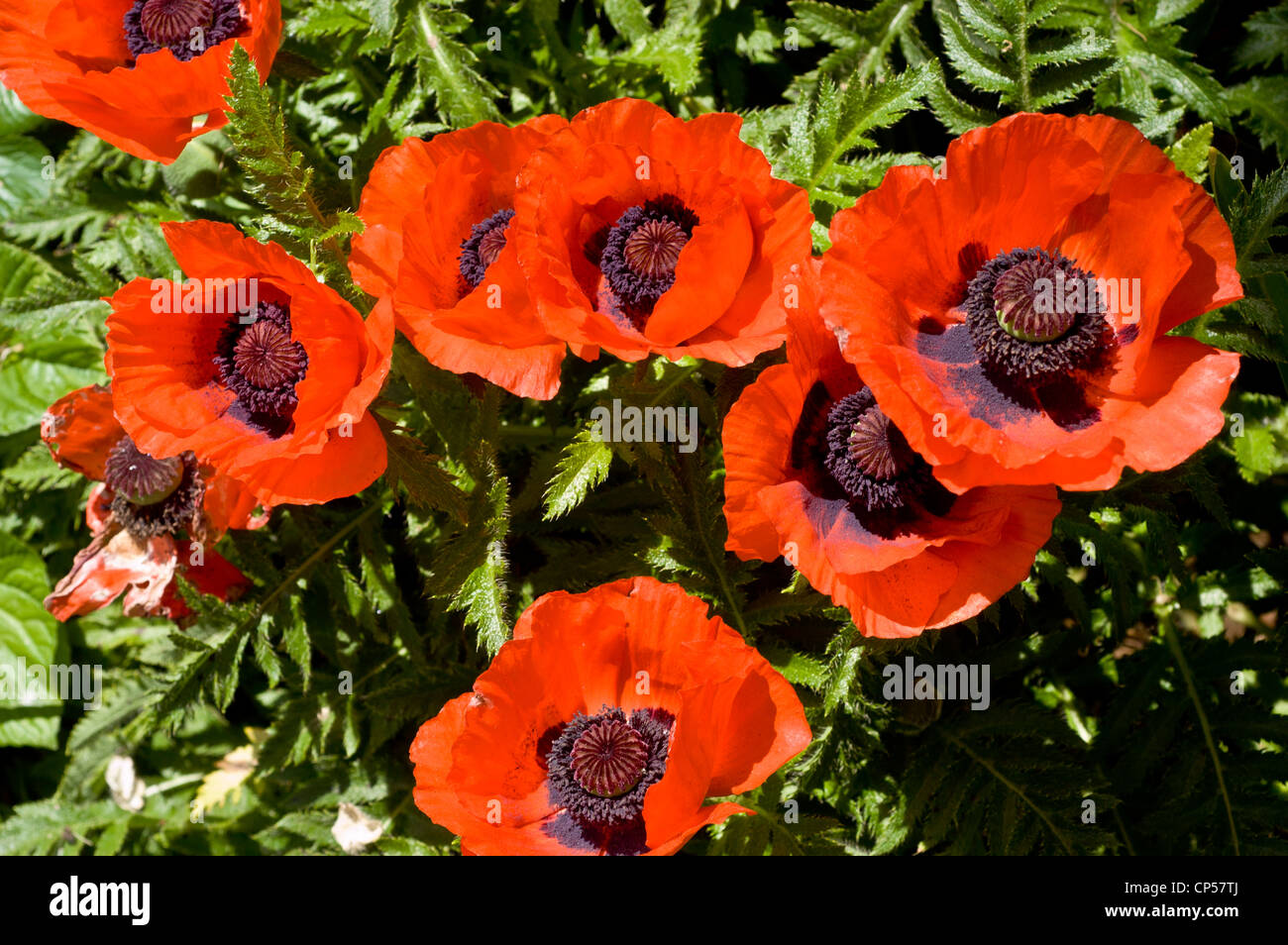 Many Red Flowers Of Oriental Poppy Stock Photos Many Red Flowers
