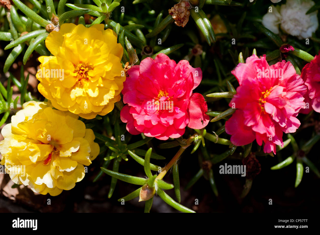 Four Yellow And Pink Flowers Of Moss Rose Purslane Portulaca Stock