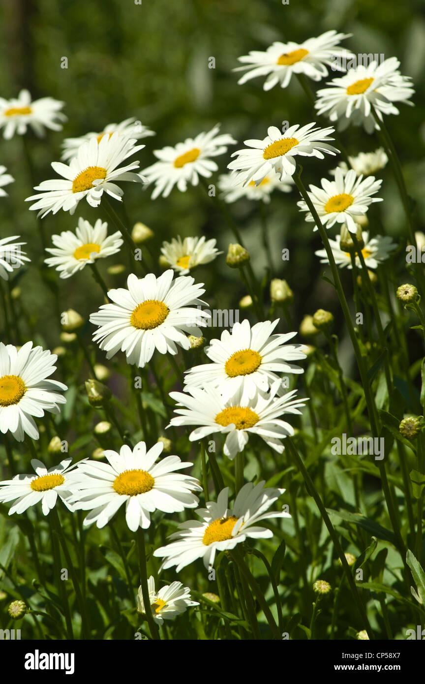 Many White Yellow Shasta Daisy Flowers Leucanthemum X Superbum