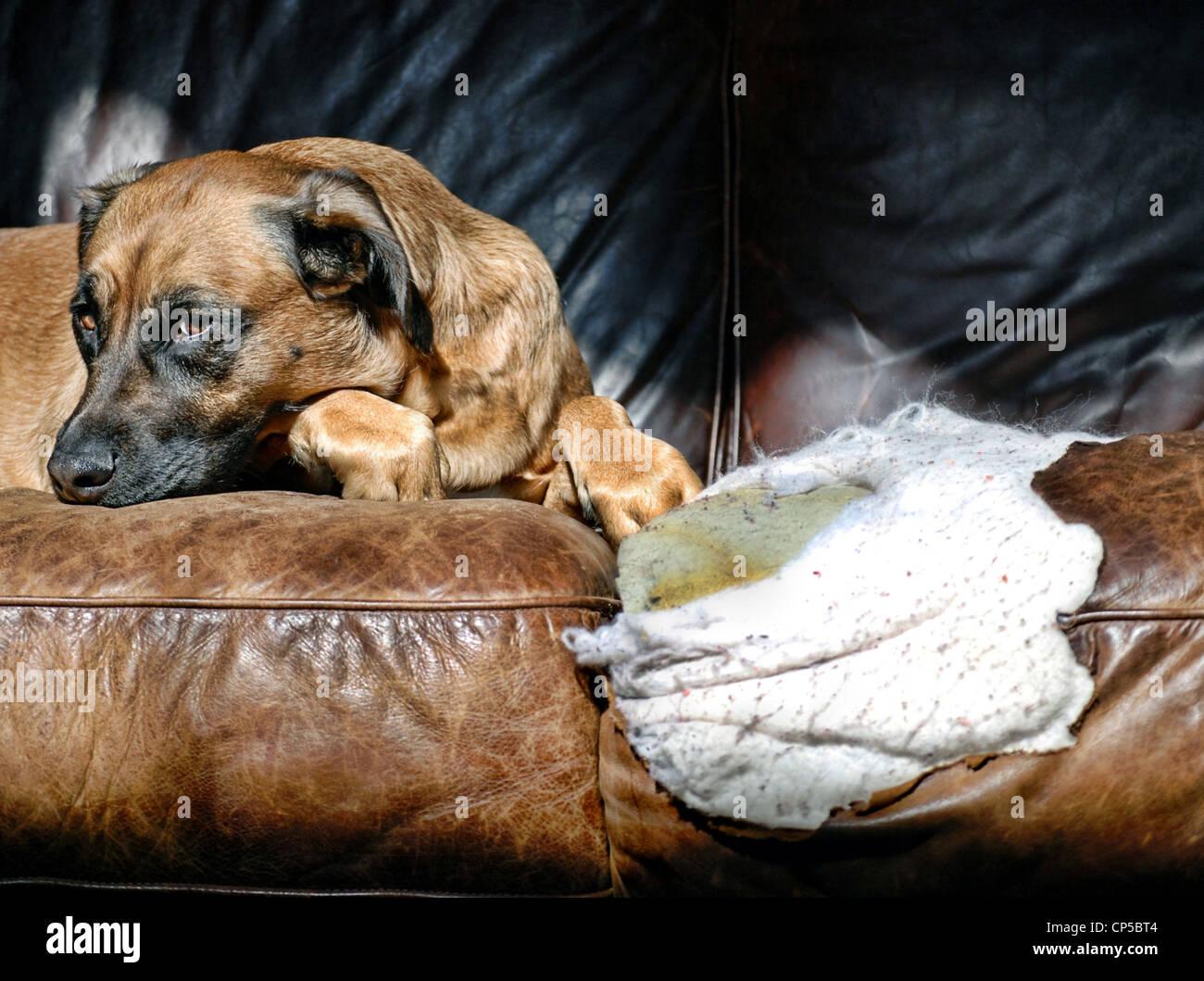 Bad Dog - Stock Image