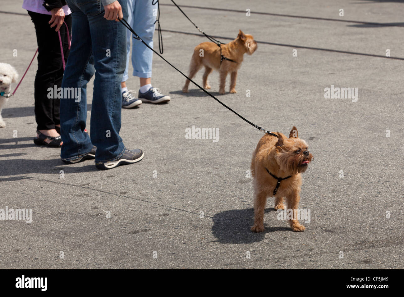 Terriers out for a walk - USA - Stock Image
