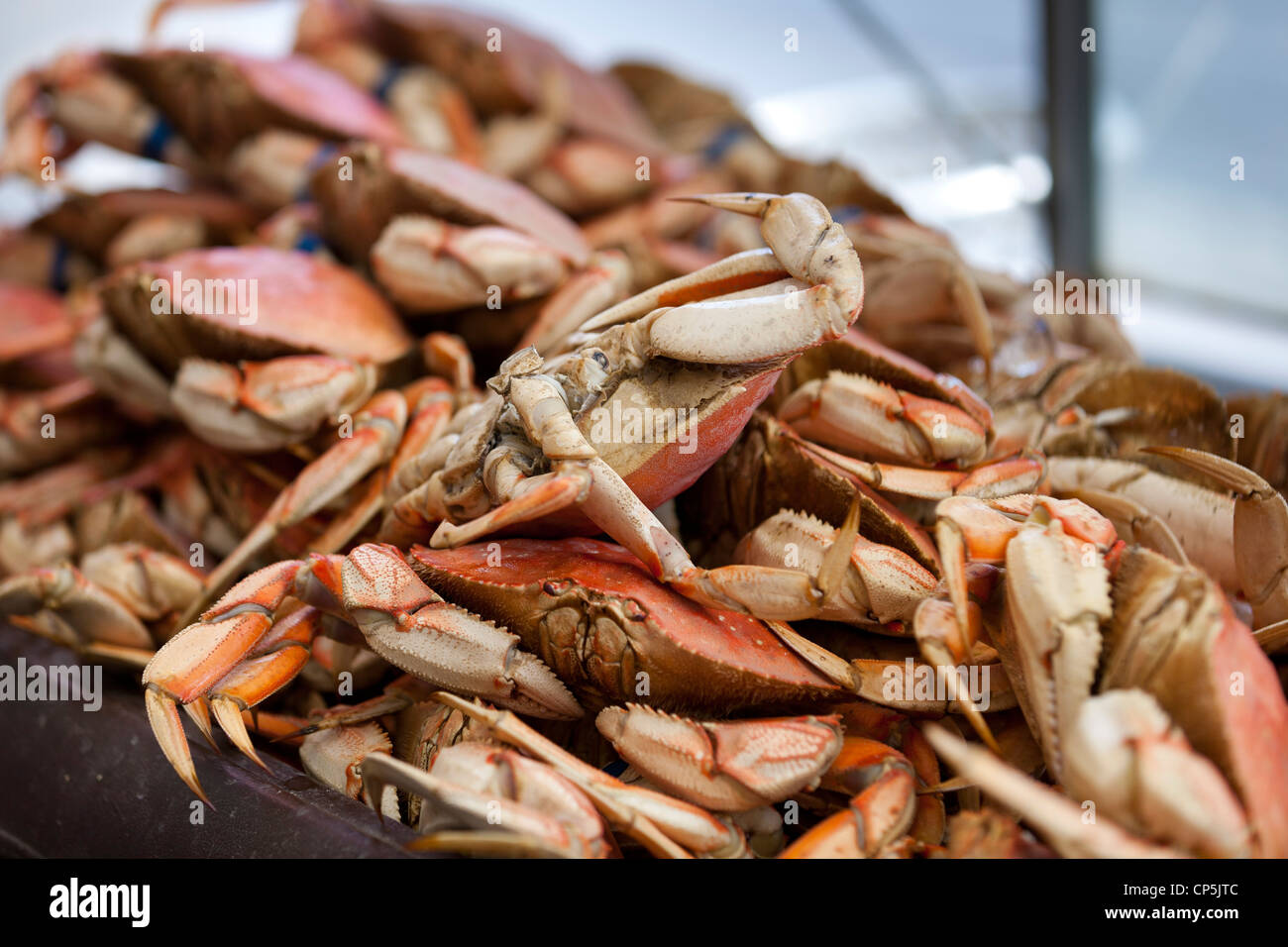 Steamed dungeness crabs - Stock Image